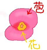 ハナキリンの花と苞のイラスト