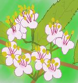 ムラサキシキブ花のイラスト