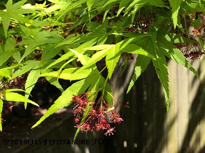 楓の花の写真