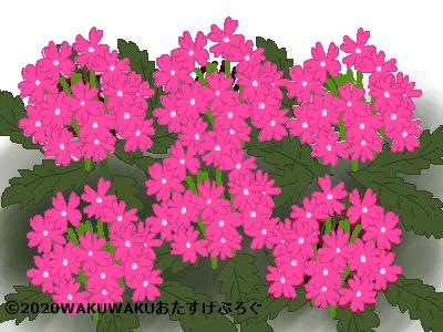 ピンク色のバーベナのイラスト