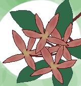 アベリアの萼のイラスト