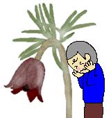 オキナグサ花のイラスト
