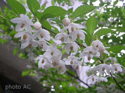 エゴノキ満開の花