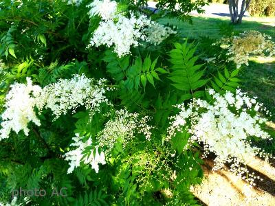 ナナカマド花の写真