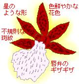 オドントグロッサムの特徴のイラスト