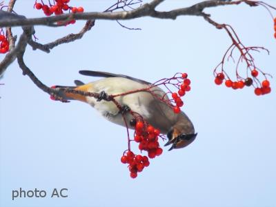 ナナカマドの果実とついばむ鳥の写真