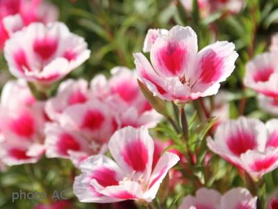ゴデチア花の写真