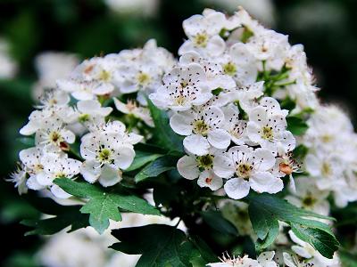 サンザシ花