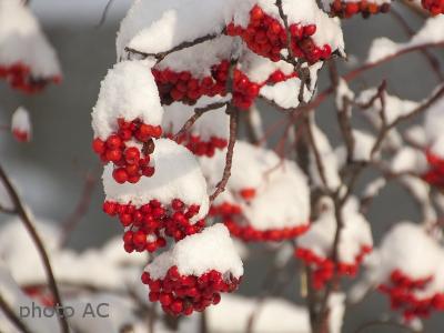 雪が積もるナカマド果実の写真