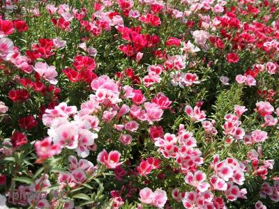 ゴデチア花畑の写真