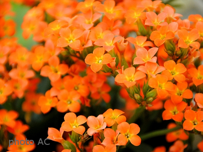 カランコエ花の写真