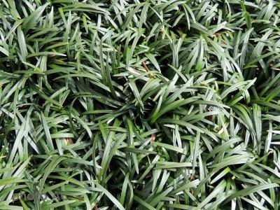 リュウノヒゲ葉の写真