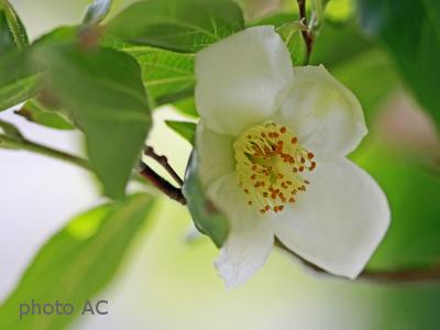 ヒメシャラ花の写真