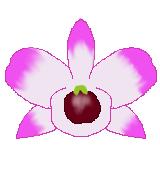ピンクのデンドロビウムのイラスト