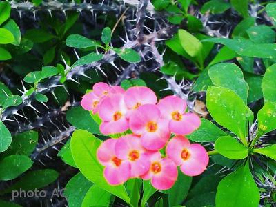 ハナキリンの花とトゲの写真