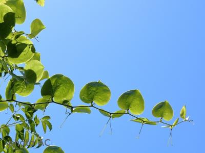 サルトリイバラのツルの写真