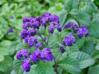 ヘリオトロープ紫の写真