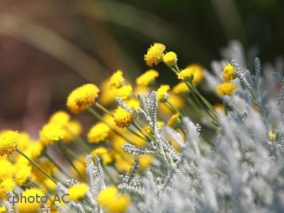 サントリナ花の写真