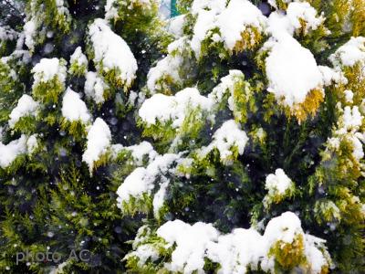 雪が積もるゴールドクレストの写真