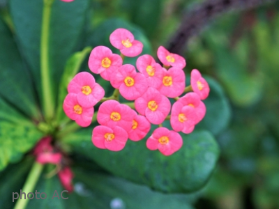 ハナキリン花の写真
