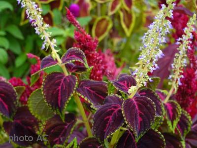 コリウス花の写真