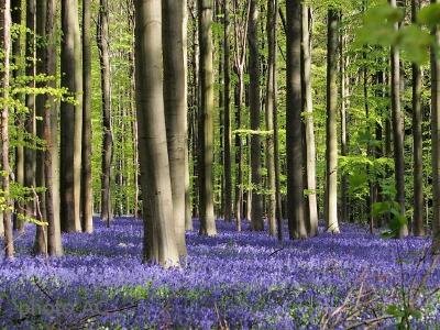 森で群生するブルーベルの写真